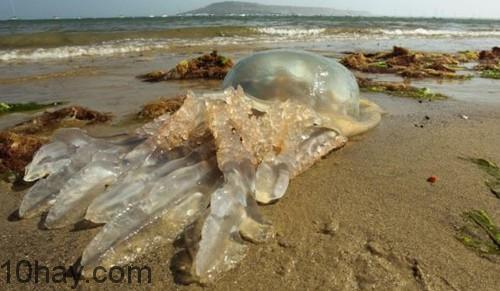 Hình ảnh con sứa biển