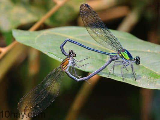 Chuồn chuồn kim Sparklewing