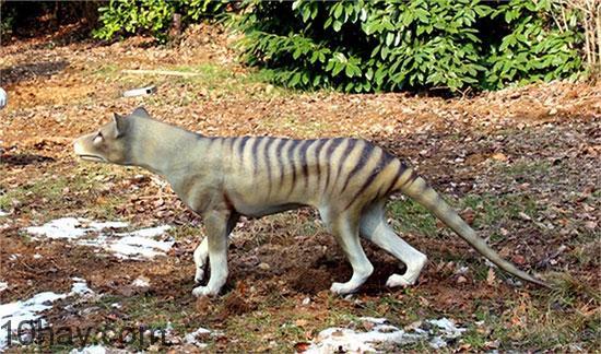 Chó sói Tasmania
