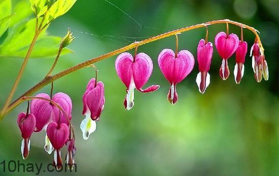 Hoa Huyết Tâm
