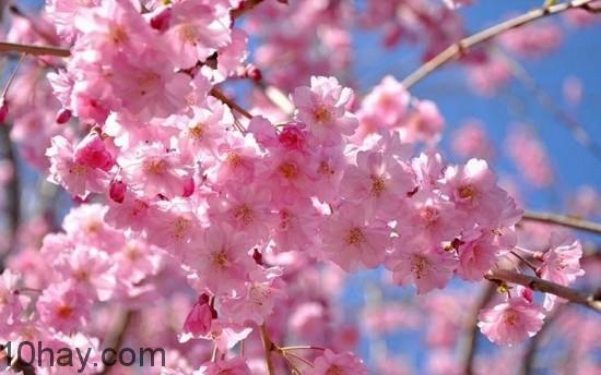 Hoa anh đào - loài hoa đẹp vẻ tinh khiết trong sáng và thanh cao