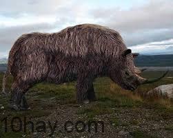 Tê giác Woolly