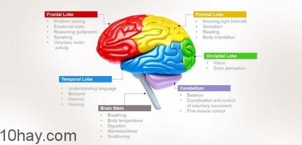 human-brain-functions