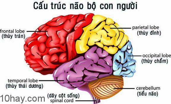 Não bộ có cấu trúc giống như tofu (đậu hũ non ở Việt Nam)