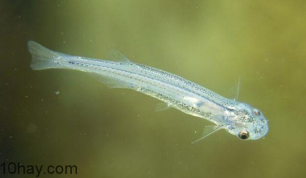 Cá candiru