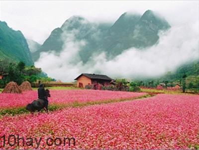 Bạt ngàn sắc hồng tím của hoa Tam giác mạch đua nhau khoe sắc
