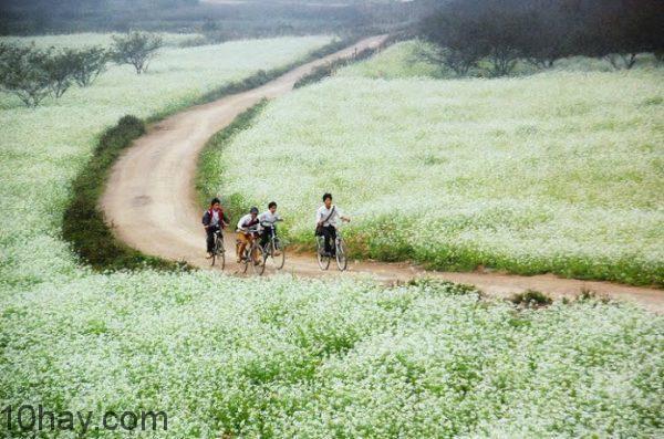 Một vùng sắc trắng của hoa cải ở Mộc Châu