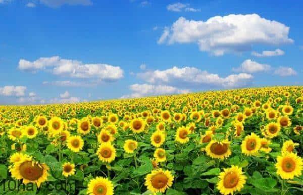 30ha hoa hướng dương đang nở rộ.