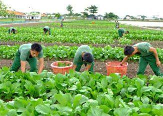 Mua ở nông trại, rau của bộ đội trồng