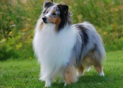 Một trong những giống chó khôn nhất thế giới , chó chăn cừu Shetland