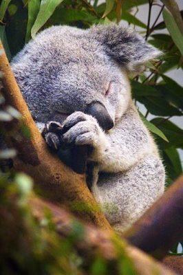 Một chú gấu Koala đang say ngủ
