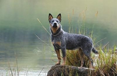 Giống chó chăn gia súc Úc