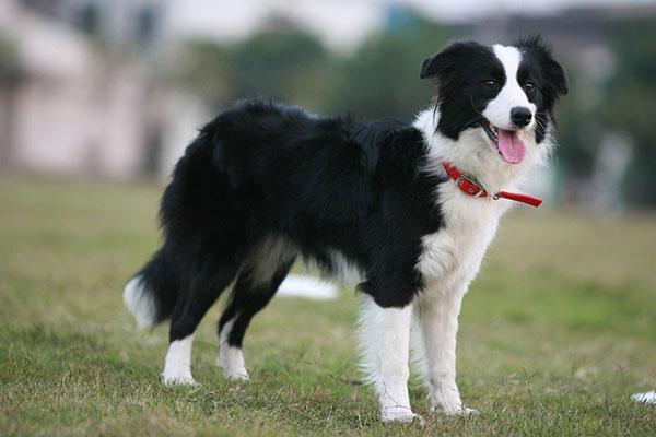 Border Collie- một trong những giống chó khôn nhất thế giới