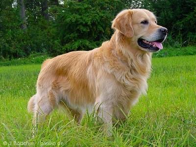 Giống chó Golden Retriever
