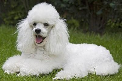 Giống chó Poodle