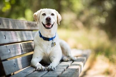 Giống chó Retriever Labrador