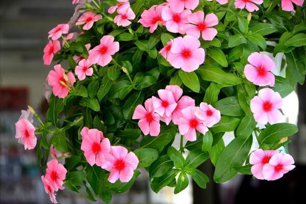 Hoa phong lữ rực rỡ
