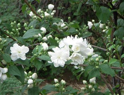 Hoa lài tỏa hương thơm giúp thư giãn
