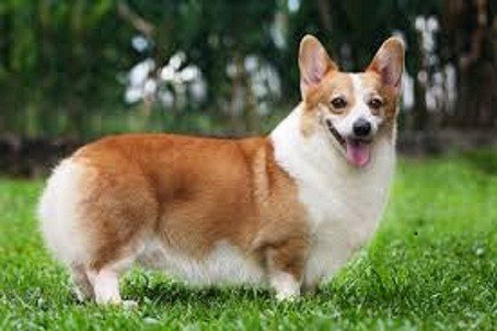 Chó Pembroke Welsh Corgi