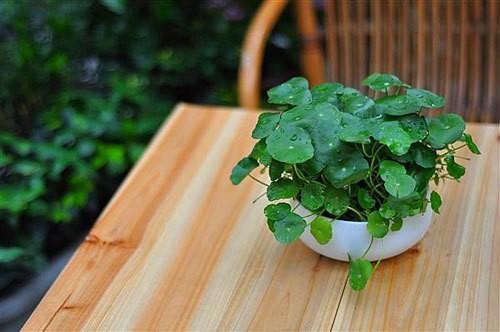 Một chậu rau má nhỏ có thể dùng để trang trí.