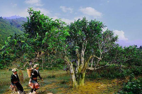 Trà cổ thụ - Loại trà ngon nhất Việt Nam