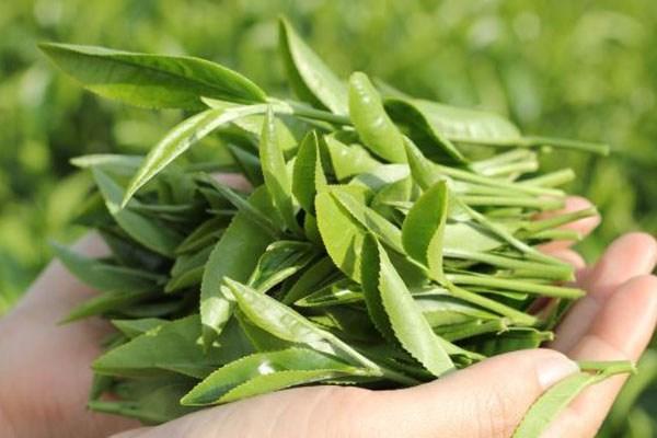 Trà xanh - Loại trà ngon nhất Việt Nam