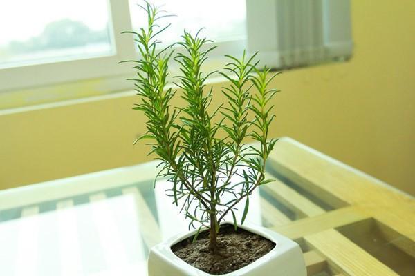 Top 10 cây thuốc quý không thể không trồng trong nhà mà bạn nên biết