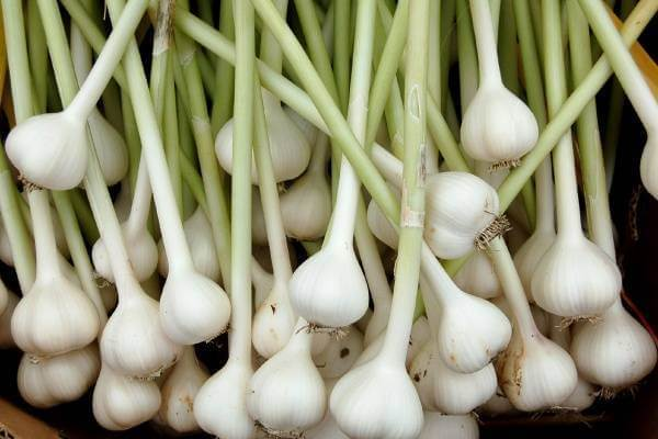 Cay tỏi . Tên khoa học: Allium sativum