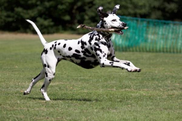 cho-Dalmatian