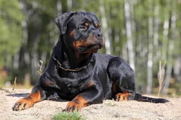 chó-rottweiler