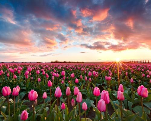 Skagit- Valley -Tulip