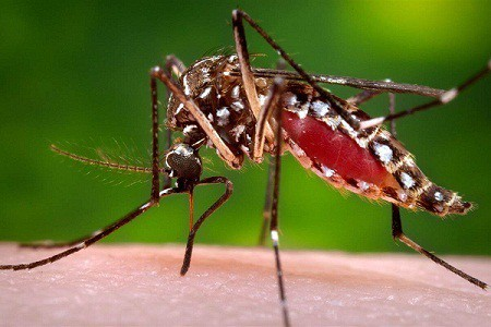 Muỗi vằn