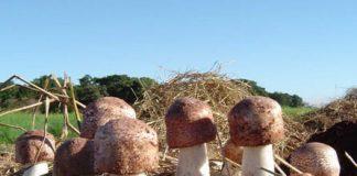 nấm quý hiếm ở Việt Nam