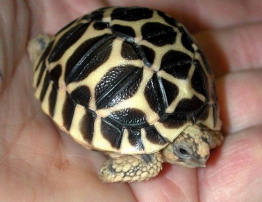 Rùa- thú cưng nuôi trong nhà nhiều nhất