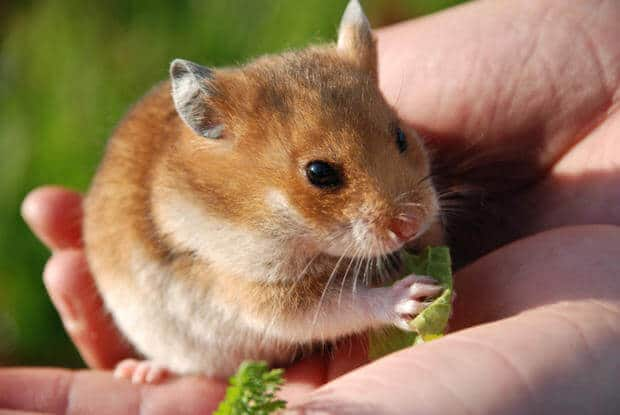 Hamster- thú cưng nuôi trong nhà nhiều nhất