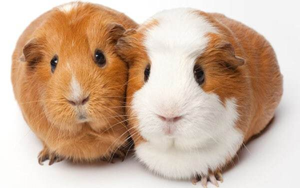 Lợn Ghi- nê- thú cưng nuôi trong nhà nhiều nhất