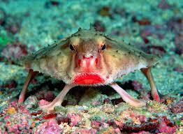 Cá dơi môi hồng