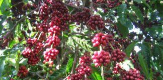 Cây cà phê loại cây công nghiệp lâu năm
