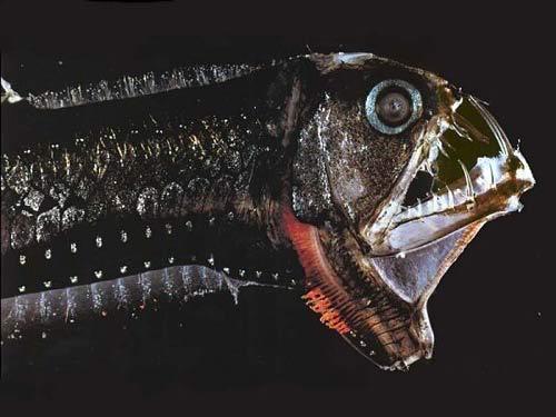 Cá rắn viper - Loại cá có hình thù quái dị nhất thế giới