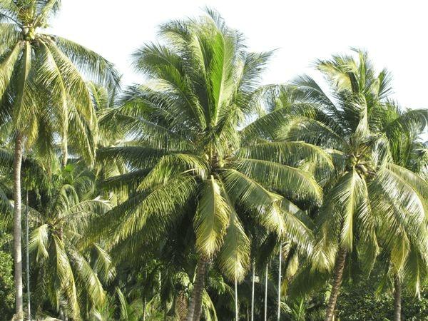 Cây dừa