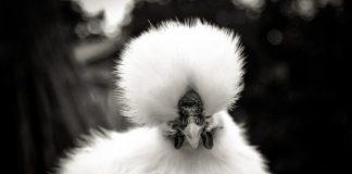 giống gà quý hiếm