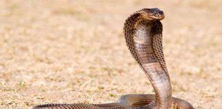 Rắn độc và nguy hiểm nhất - Rắn hổ mang xiêm có nọc độc gây chết người