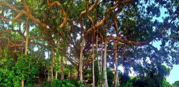 Cây đa nghìn năm- Bán đảo Sơn Trà
