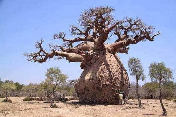 cây cổ thụ to lớn và độc đáo